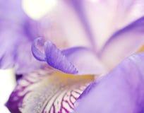 Foco suave Iris Petals Fotos de archivo libres de regalías