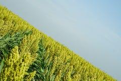 Foco suave selectivo del campo de la zahína en luz del sol Fotografía de archivo