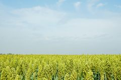 Foco suave selectivo del campo de la zahína en luz del sol Fotos de archivo
