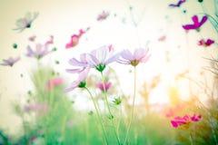 Foco suave y flor borrosa del cosmos fotos de archivo libres de regalías