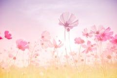 Foco suave y flores borrosas del cosmos fotos de archivo