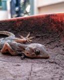 Foco tirado macro del lagarto asustadizo imagen de archivo libre de regalías