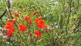 Foco vermelho do pulcherrima do Caesalpinia seleto na árvore do pólen e do borrão Imagem de Stock Royalty Free