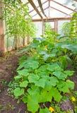 Focolaio con le zucche, del cetriolo ed il pomodoro Fotografia Stock