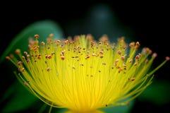 St. John`s wort flower macro showing countless stamens stock photos