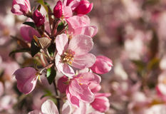 Focus on Apple Blossom Stock Photography
