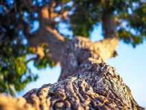 Detail of tree at sunset. Focus is on the bark of a tree while the rest is out of focus at sunset in a tropic country Stock Photo