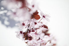 Focus on beautiful pink and white cherry flowers Stock Images