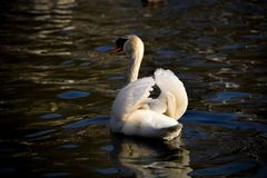 Beautiful plumage of the white swan wings stock image