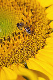 Focus on bee Stock Photography