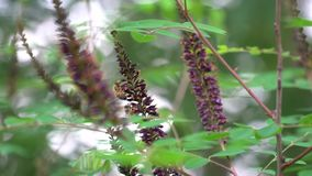 Focus on the bees sitting on the lilac stock video footage