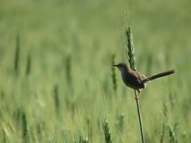 Focus - A bird stands on its barley stock photography