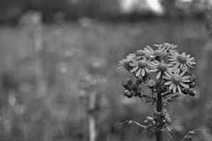 Focus. Black and White Flower With A Blurred Background Stock Image