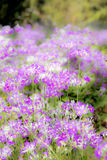 Focus blur flower nature. Focus blurred natural background pink flowers Royalty Free Stock Photo