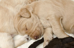 Focus on Carmel Labradoodle Pup. Selective focus the carmel labradoodle pup, sleeping with his siblings Royalty Free Stock Images