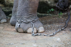 Focus on chained adult elephant Royalty Free Stock Photography