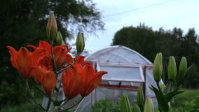 Focus change dark orange lilies and greenhouse in country garden stock video