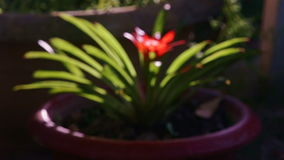 Focus changes to show tropical plant with bright red flower stock video