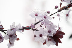 Focus on cherry blossoms for zen purity and springtime. Closeup on cherry blossom flowers for zen and inspiration from nature Stock Photos