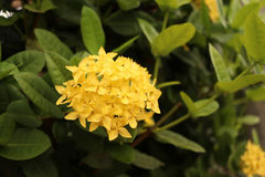 Focus at cluster of yellow flower with green leaves,closed at ix Stock Photography