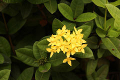Focus at cluster of yellow flower with green leaves,yellow ixora Stock Photos