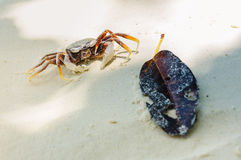 Focus on Crab on the sand beach with brown leaf. Seascape or Landscape at similan island, andaman sea, pacific ocean. Similan Island,beautiful tropical island Royalty Free Stock Photos