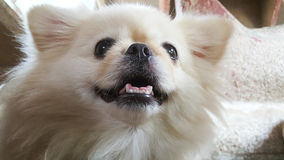Focus at Cute Pekingese Dog relaxing on the floor, feel sleeping and look at camera Stock Photo