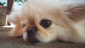 Focus at Cute Pekingese Dog relaxing on the floor, feel sleeping and look at camera Royalty Free Stock Images