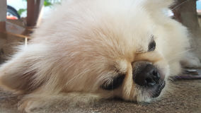 Focus at Cute Pekingese Dog relaxing on the floor, feel sleeping and look at camera Royalty Free Stock Photos
