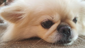 Focus at Cute Pekingese Dog relaxing on the floor, feel sleeping and look at camera Stock Images