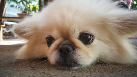 Focus at Cute Pekingese Dog relaxing on the floor, feel sleeping and look at camera Royalty Free Stock Photo