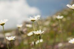 Focus on daisy Royalty Free Stock Photo