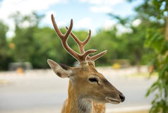 Focus on the Deer's eye Stock Photos