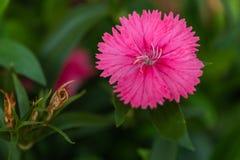 Focus Dianthus barbatus pink or Sweet William blooming in garden stock image