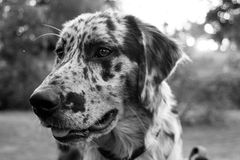 The focus of a dog. Black and white spotted dog in black and white Stock Images