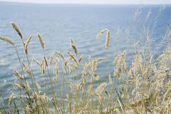 Focus dry grass, blurred sea on background, copy space. Nature, summer, grass concept stock image