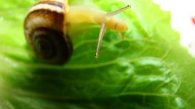 Snail | Focus on the eyes royalty free stock photography