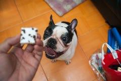 /Focus för franska bulldoggar för hundkapplöpning val Arkivfoton