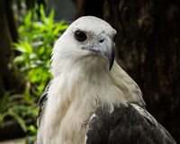 Focus On The Face Of A White Eagles Head Royalty Free Stock Photos