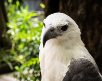 Focus On The Face Of A White Eagles Head Stock Images
