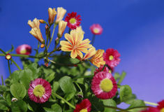 In focus flower with dark blue sky background in transition Royalty Free Stock Photos