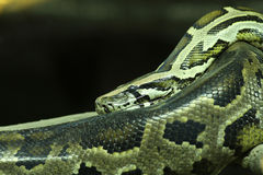 Focus on Green Burmese Python, Snake. The Green Burmese python is same species as Burmese python, but different in pattern and color Stock Photography