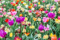 Focus of group big colorful tulips in hitachi seaside park. Japan royalty free stock photos