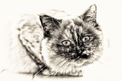 Focus on the head of Birman cat full length lookin. Focus on the head of a seal tortie point Sacred cat of Burma female looking at camera. Black and white fine stock image