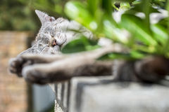 Focus on the head of tabby cat sleeping outdoors. In background focus on the head of an adult tabby cat sleeping lengthened on a low wall. Portrait of domestic stock images