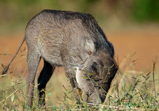 Focus of head of a young Warthog Stock Photos
