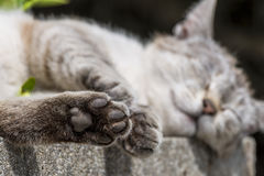 Focus on the hind paw of tabby cat sleeping outdoors. In foreground focus on the hind paw of an adult tabby cat sleeping lengthened on a low wall. Portrait of royalty free stock photo