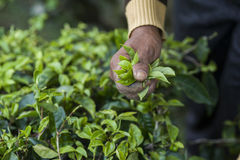 Focus image of Harvester`s hand, picking Green tea leaves. Harvester picking Green tea leaves stock images