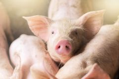 Free Focus Is On Nose. Shallow Depth Of Field. Pigs At The Farm. Meat Industry. Royalty Free Stock Image - 128206716