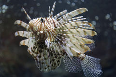Focus the Lionfish and dangerous. Royalty Free Stock Photo